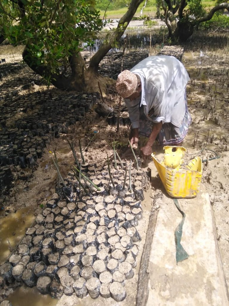 Female volunteer planting Mangrove