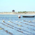Fig 2 Seaweed farming creates a sustainable addition to income in some villages of Velondriake