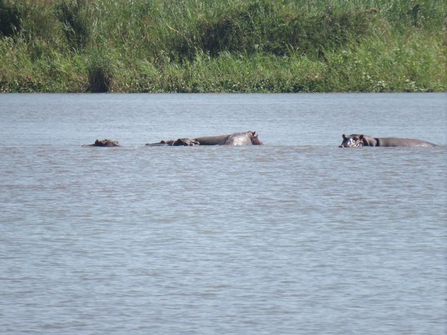 Hippos along the Zambezi River